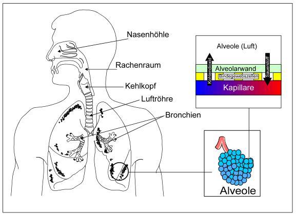 Abb. 2.1: Atmungssystem mit Gasaustausch